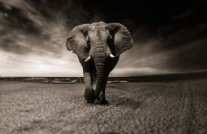 black and white photo of an elephant