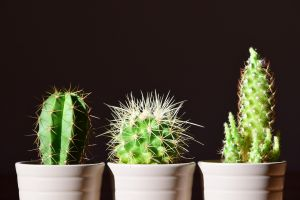 three cacti in a row