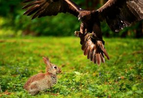 bird of prey attacks a rabbit
